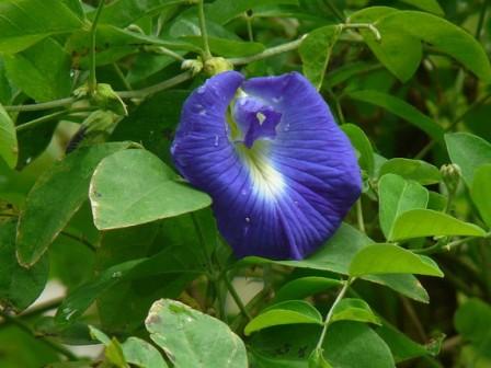 синий чай цветок