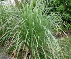 lemongrass bush