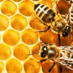 pchelinyii   vosk v kosmetike 150x150 Пчелиный воск в креме : здоровье кожи и суставов.