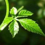 Гиностемма пятилистная или Джиаогулан - полезные свойства чудесного растения