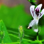 Андрографис метельчатый или Фа Талай Джон - полезные свойства и побочные действия