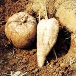 Корень Пуэрарии Мирифика — применение, противопоказания, опасные свойства и вред экзотического корешка