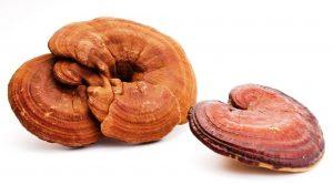 рейши гриб полезные свойства и противопоказания