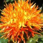 Лечебные свойства и противопоказания Сафлора