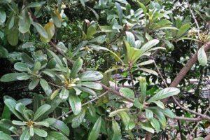 листья литсеи клейкой