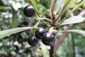 плоды литсеи клейкой