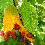 Момордика - что это за растение и какие у него свойства?