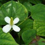 65 полезных свойств Плу Кхао или Хауттюйнии сердцелистной.