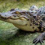 Чем полезна кровь крокодила?